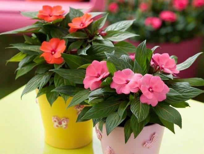 Можно ли выращивать бальзамин как комнатное растение?
