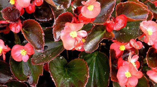 Цветы и листья бегонии