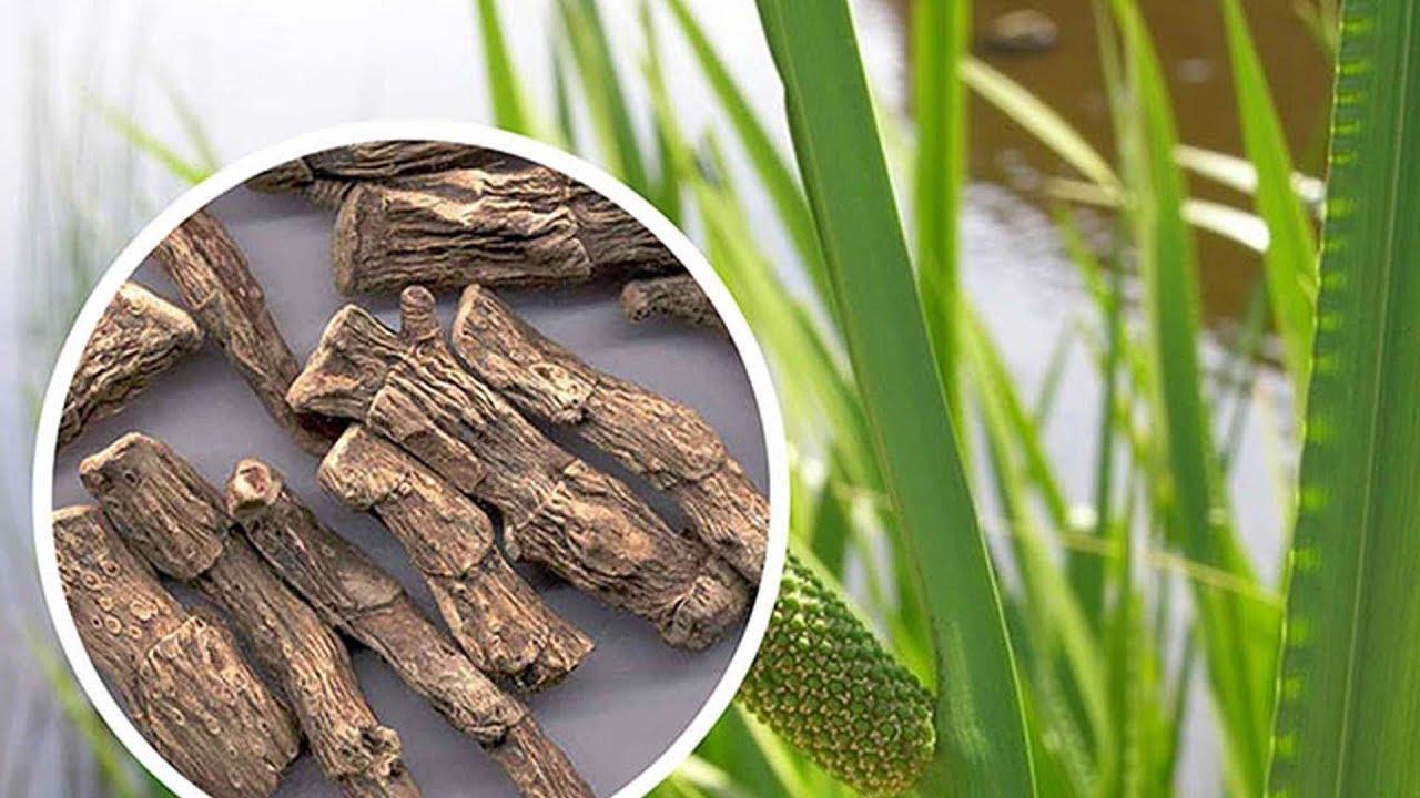 Аир болотный и лечебные свойства корня аира