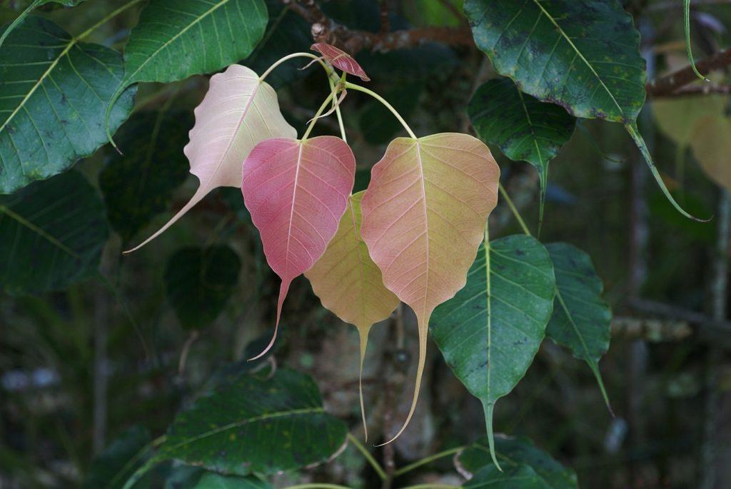 Листья фикуса священного