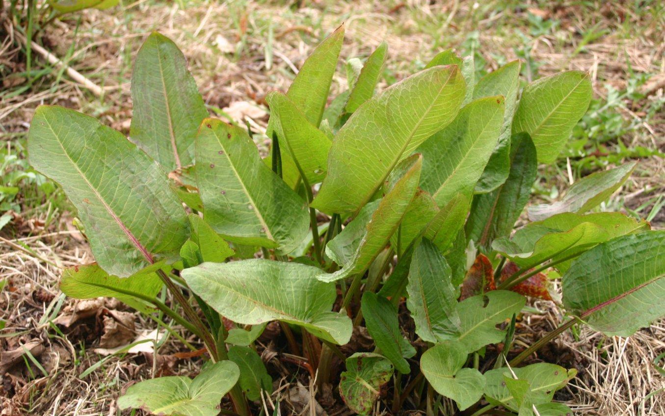 Щавель: полезные свойства растения