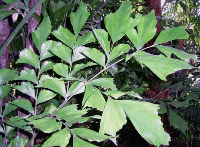 Листья кариоты