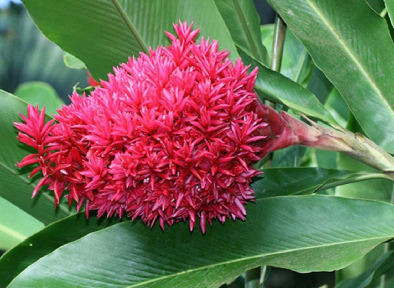 растение якобиния