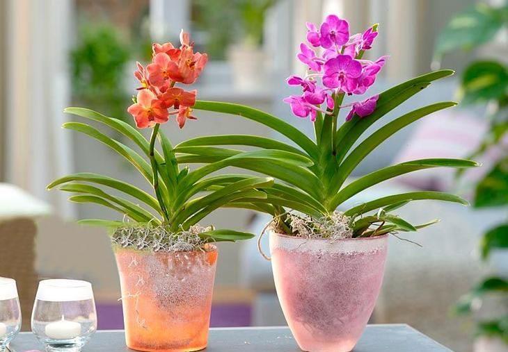 Орхидея Аскоценда