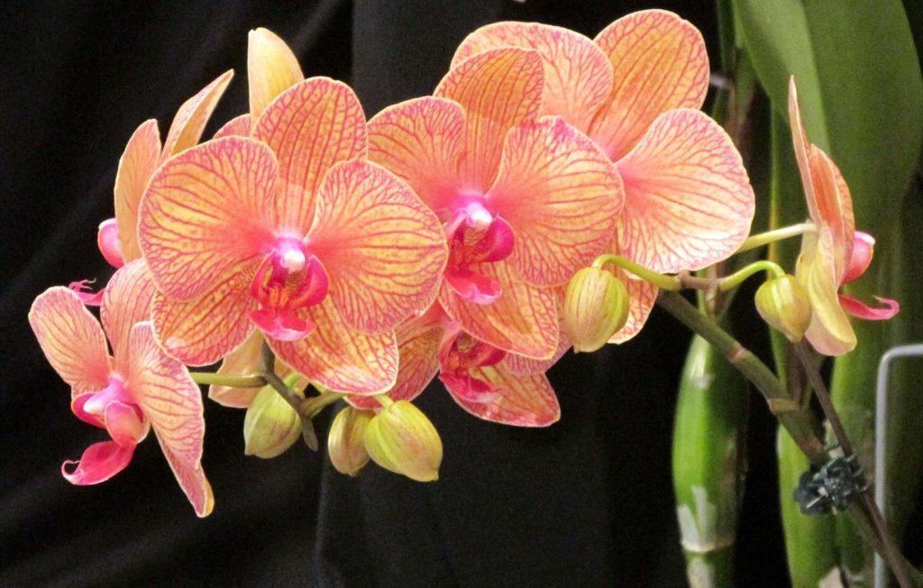Орхидея фаленопсис розовая