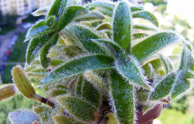 Листья цианотиса