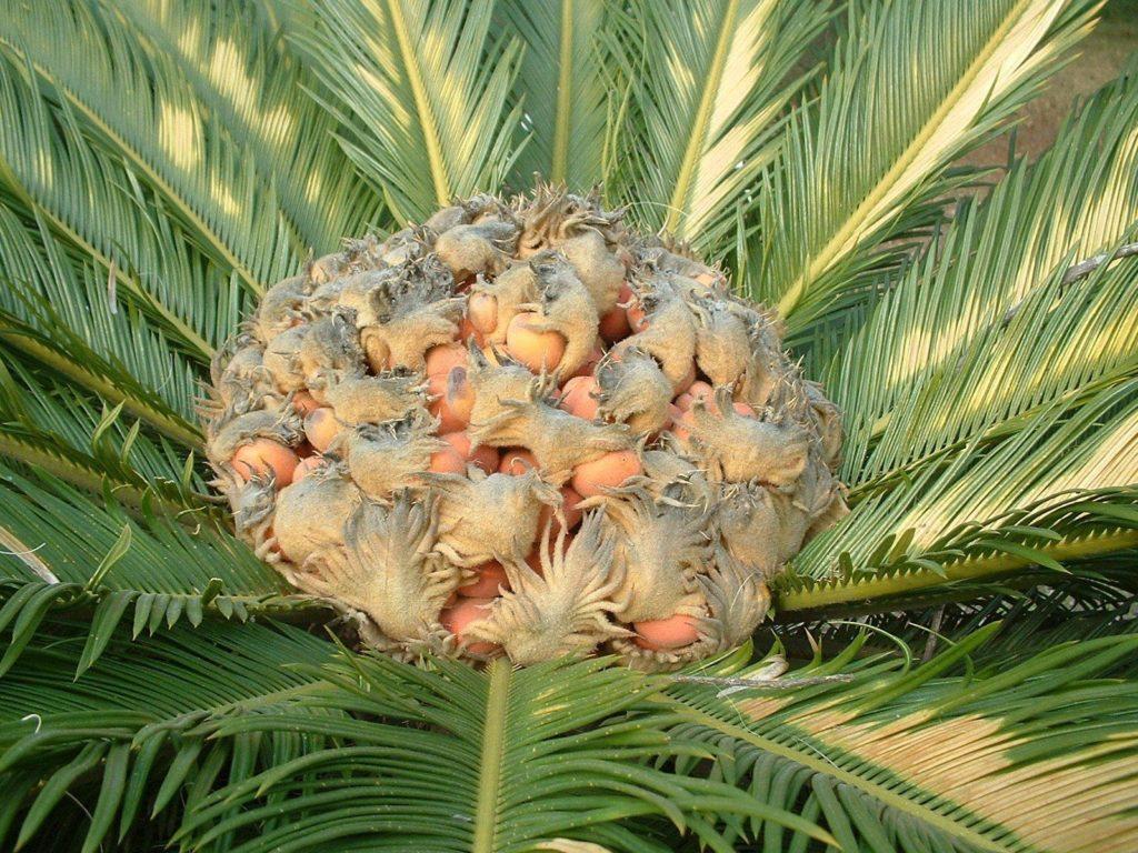 Уход за пальмой цикас