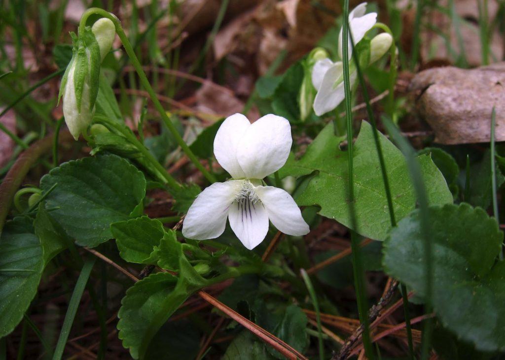 Цветок белой фиалки