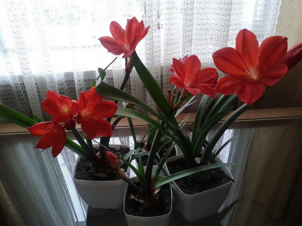 Подкормка цветка валлота