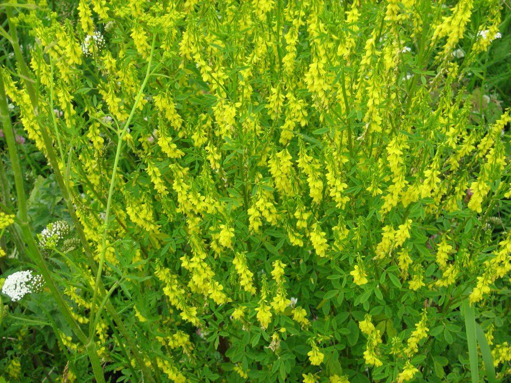 Донник лекарственный: описание растения