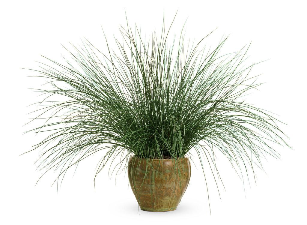 джункус Pencil Grass