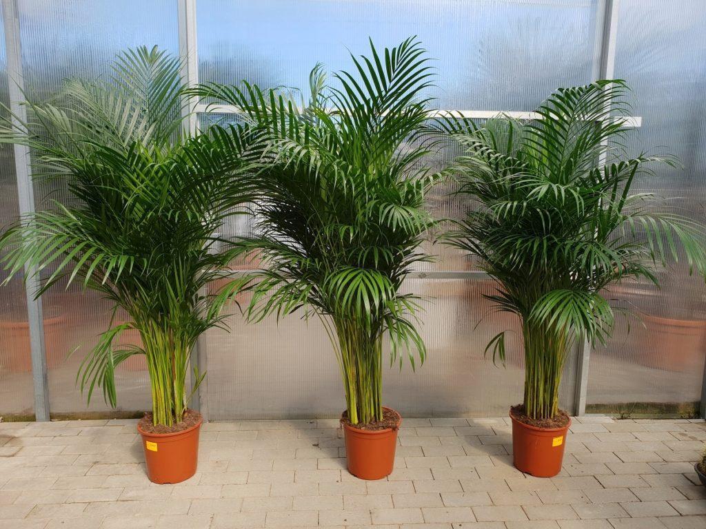Уход за трехтычинковой пальмой