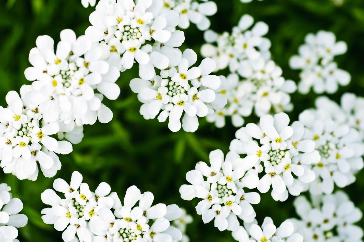 Описание цветка иберис