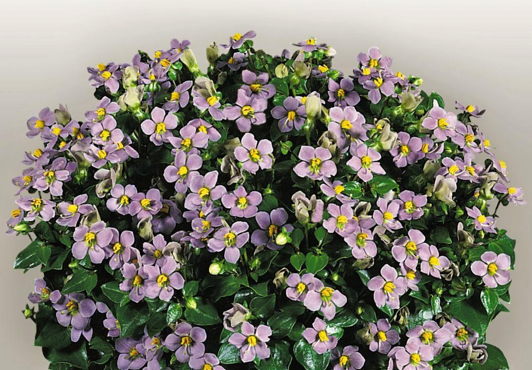 цветы экзакум