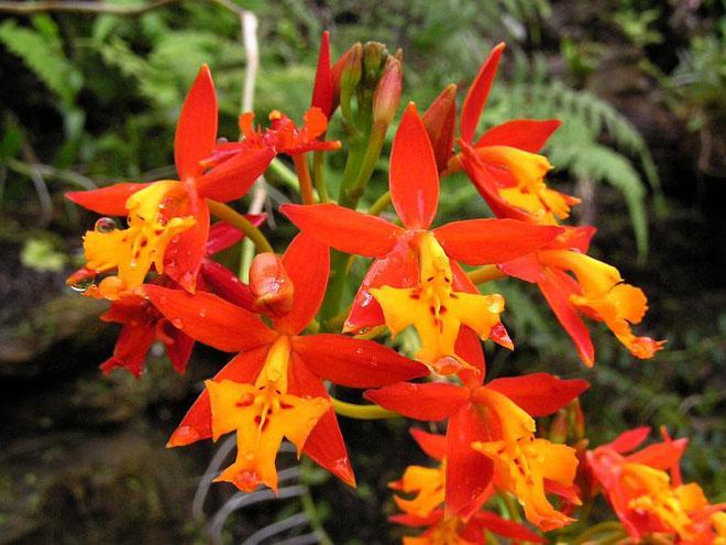 Оранжево-красная орхидея