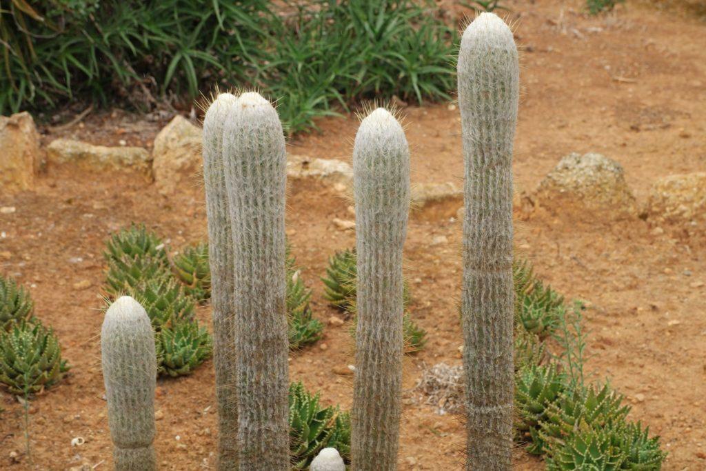 Кактус эспостоа – виды, уход, выращивание растения
