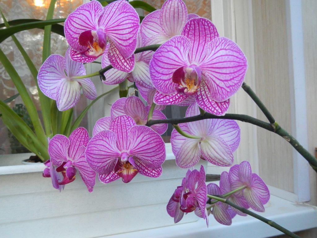 Орхидея фаленопсис голден