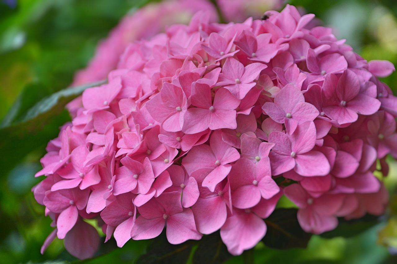 Розовый цвет гортензии