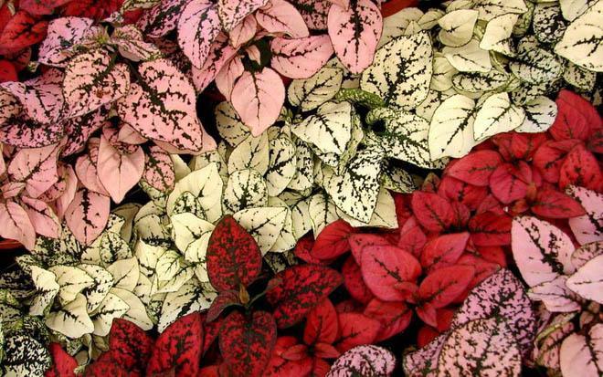 Гипоэстесы листья