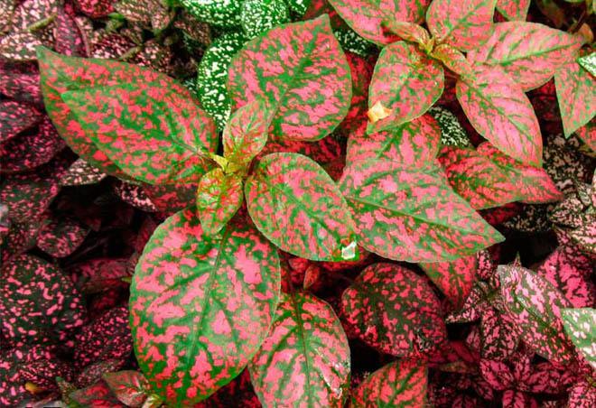 Гипоэстес листья