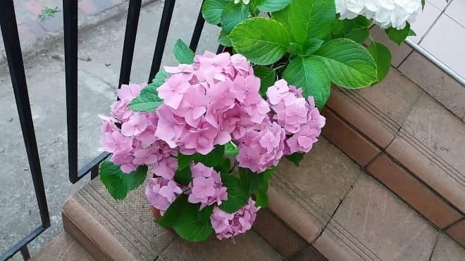 Гортензия розовая в горшке на лестнице