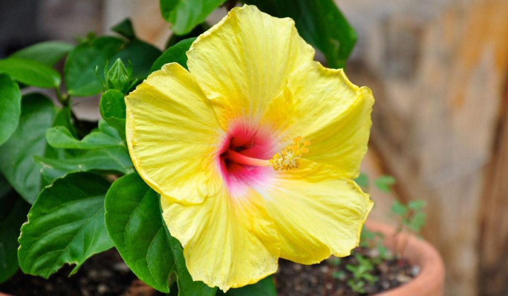 Гавайский Гибискус