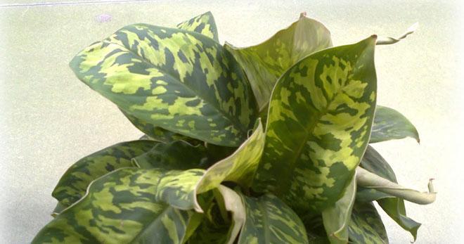 Листья хомаломены