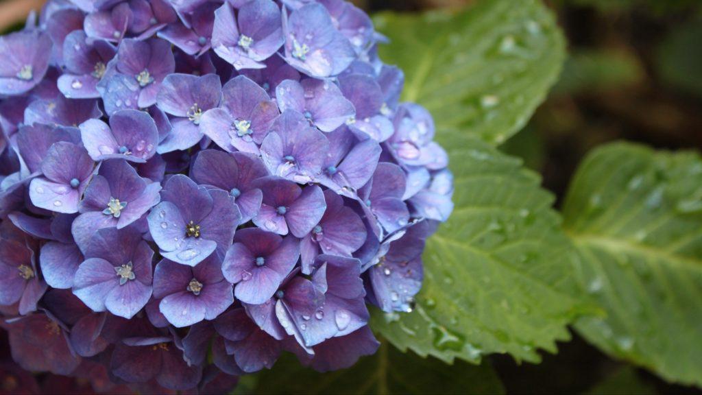 Фиолетовый цвет гортензии