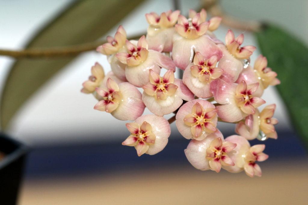 Выращивание цветка хойя