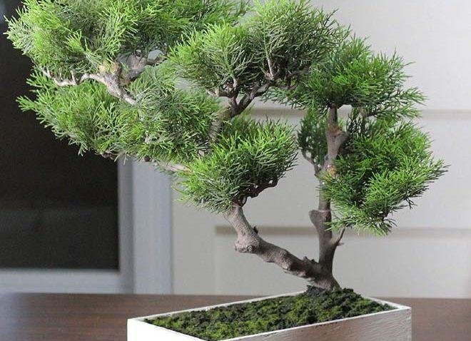 дерево криптомерия