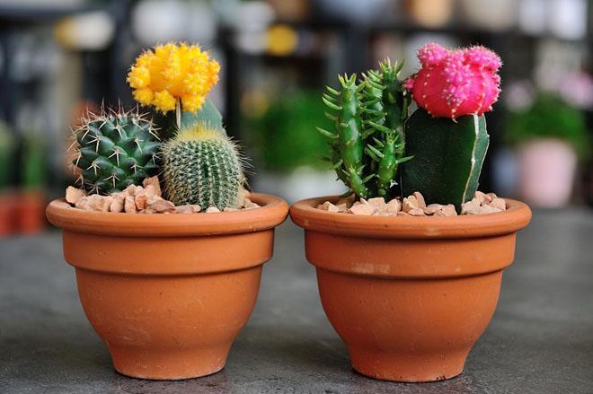 Цветущие кактусы в горшках