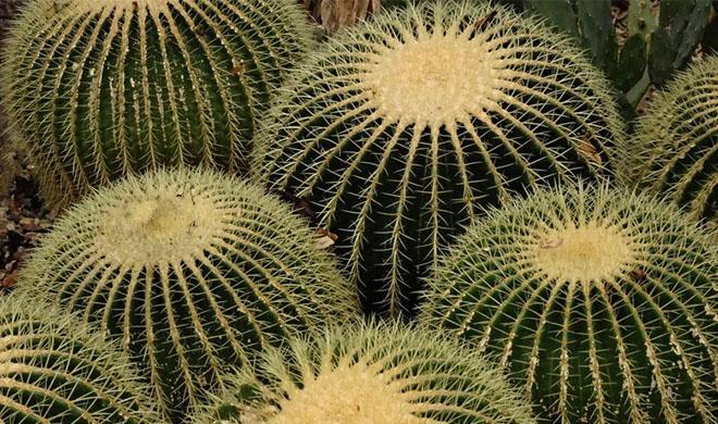 Круглые кактусы