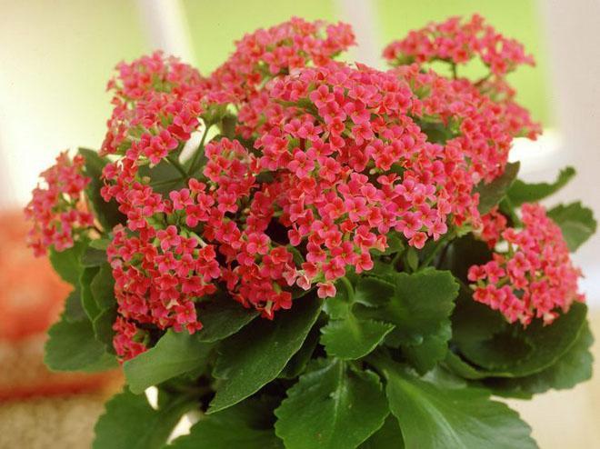 Мелкие красные цветы каланхоэ