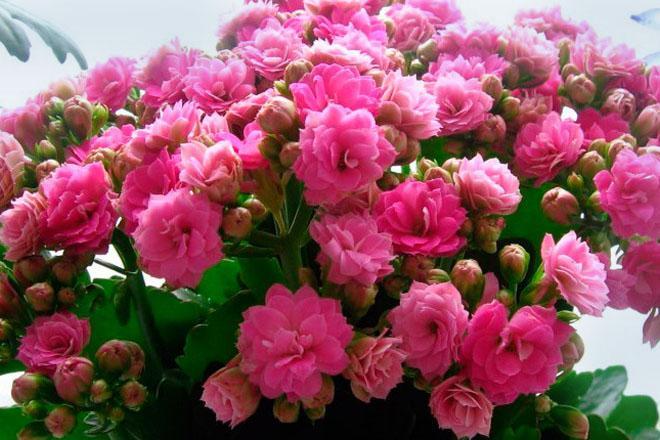 Розовые цветы каланхоэ