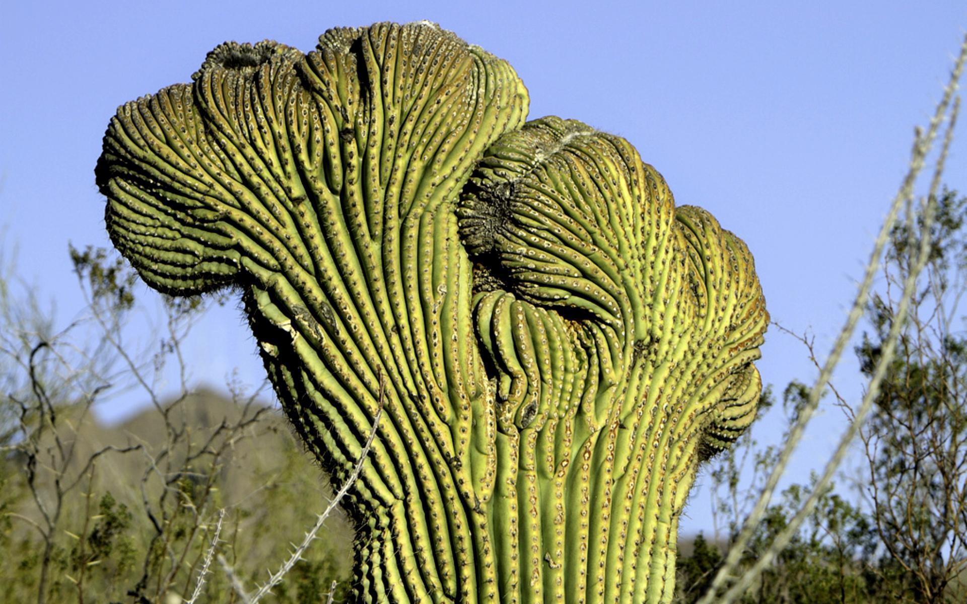 кактус цереус фото