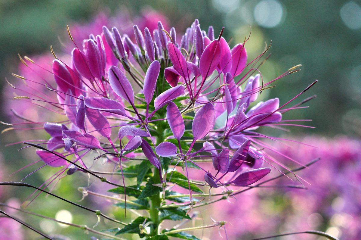Клеома Фиолетовая королева (Violet Queen)