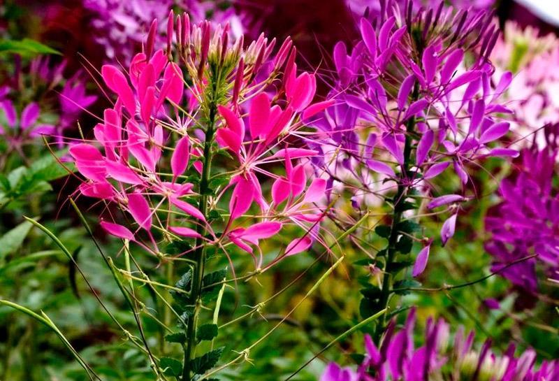 Цветок Клеома: описание и уход за растением