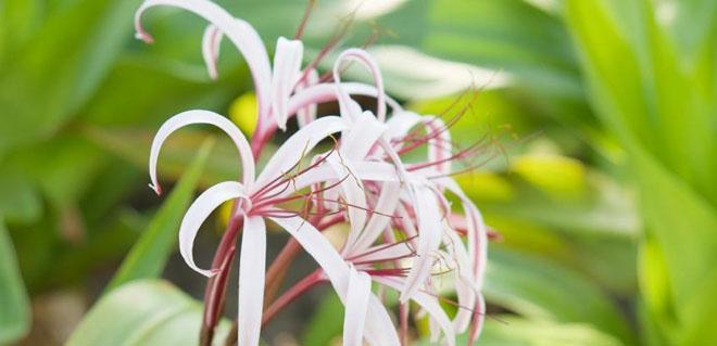 Кринум цветы