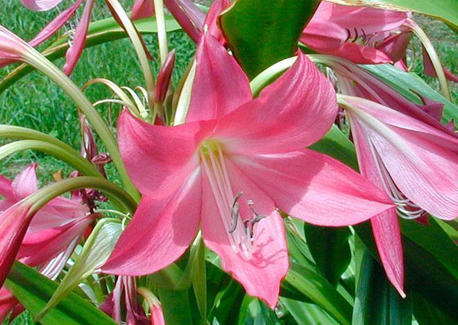 Розовый кринум