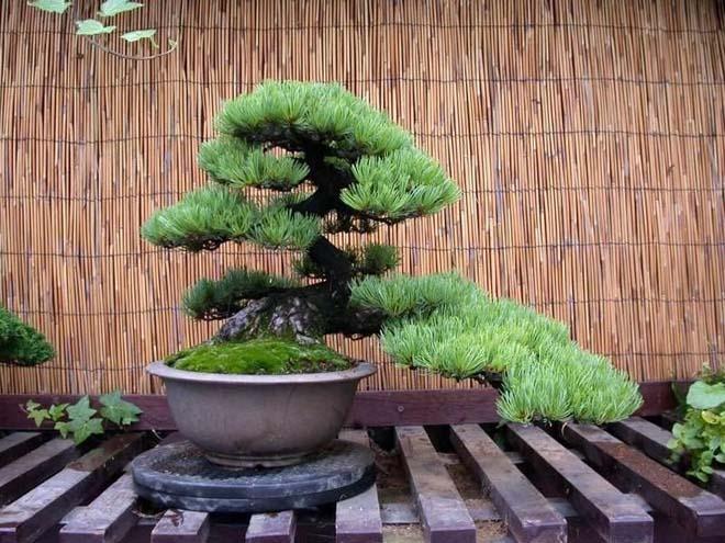 декоративное дерево криптомерия