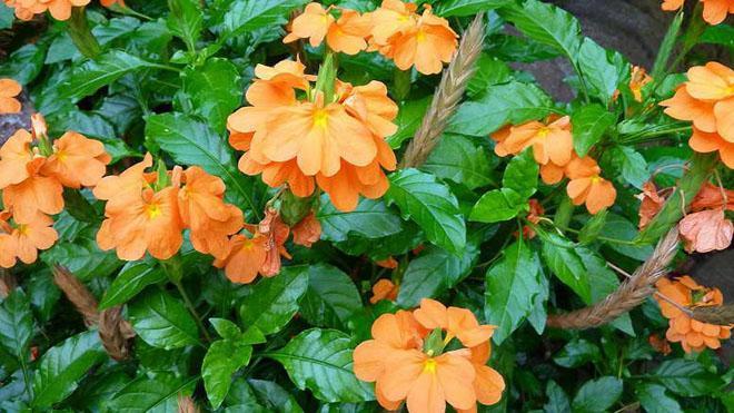 Цветы кроссандры