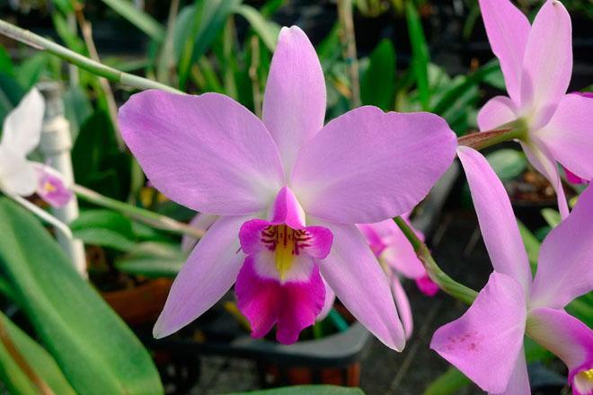 Розовая орхидеи лелии