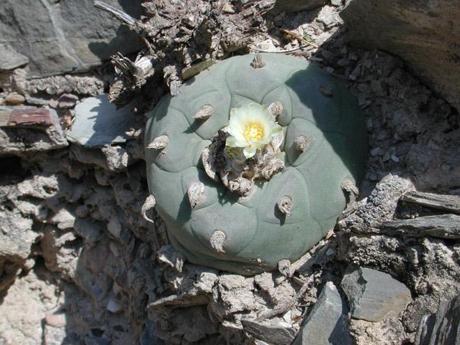 Лофофора с цветком