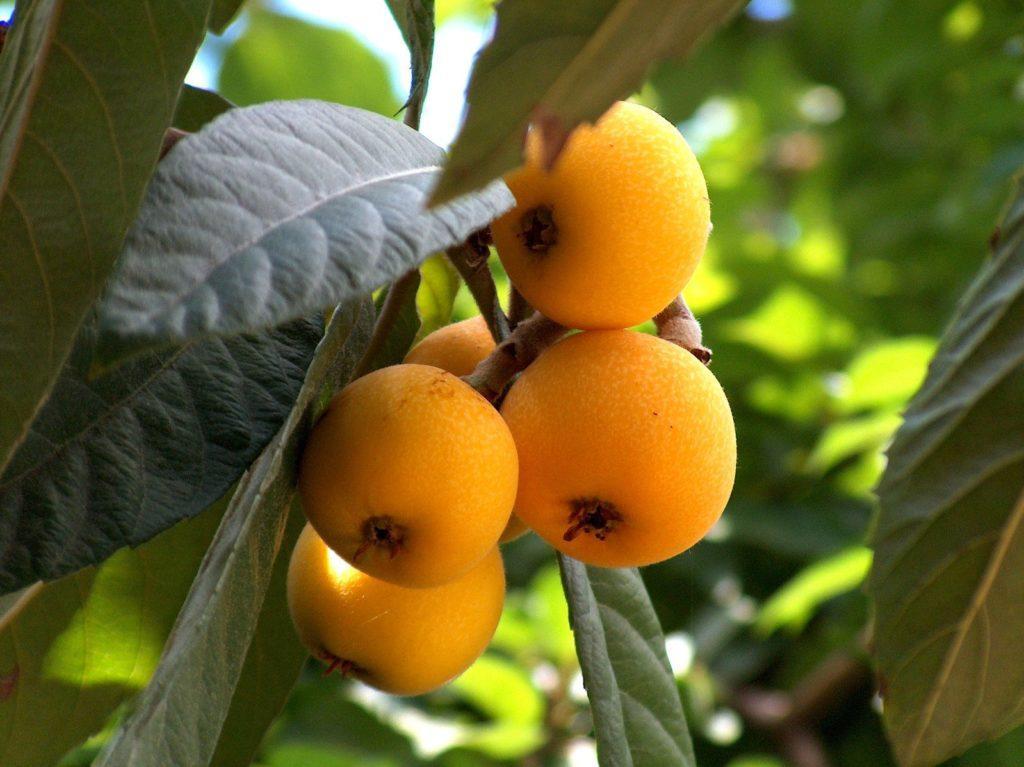 Дерево мушмула: выращивание в домашних условиях