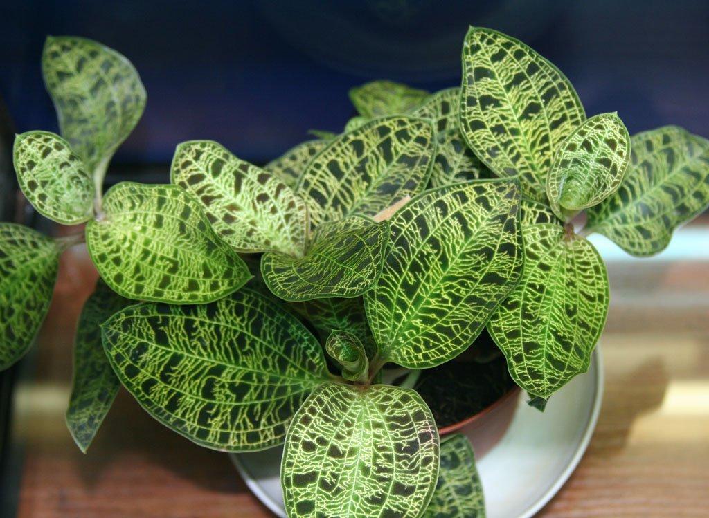 Орхидея Макодес петола в горшке