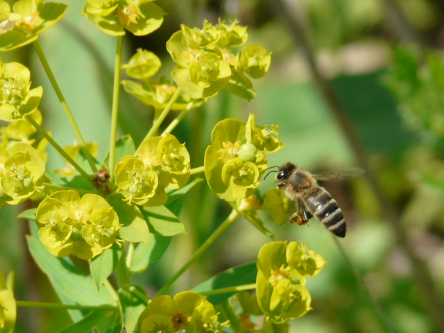 Мед из молочая