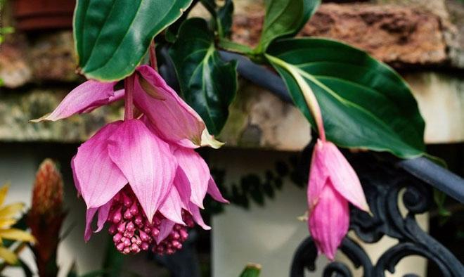 Два цветка мединиллы