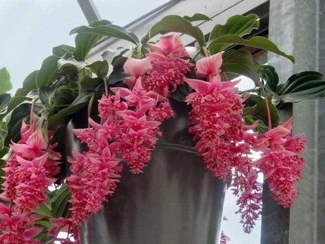 Цветы мединиллы в горшке