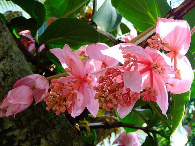 Раскрытые цветы мединиллы