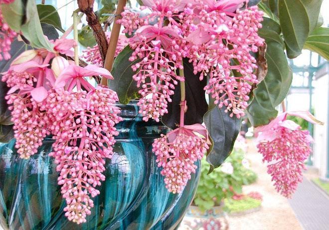 Мединилла цветы